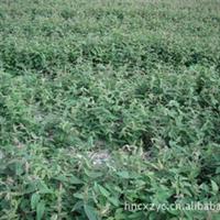 湖南金银花 湘蕾金银花嫁接苗 金银花树苗 免费提供种植技术