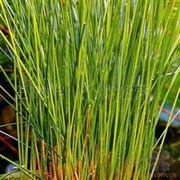 绿化苗木、水生植物、供应 灯心草