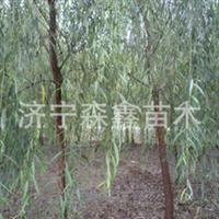 长期供应青垂柳1-15公分