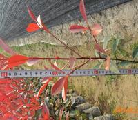 供应福州绿化深夜草莓视频app下载:红叶石楠