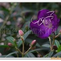 供应紫牡丹,野牡丹