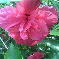 供应扶桑,大红花