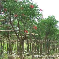 刺桐 园艺场
