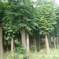台湾杨树 栾树