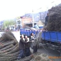 供应山茱萸苗木高05-1-1.5米50万株(图)