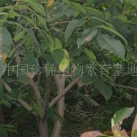 供应山核桃苗2.5米定杆胸径4-10公分4000株