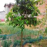厂家低价供应陕南桂花树