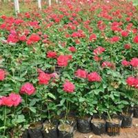 红帽月季,丰花月季,大花月季,香水月季,营养钵月季供应
