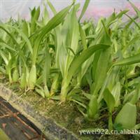 长期大量供应巧克力香水文心兰种苗瓶苗组培苗