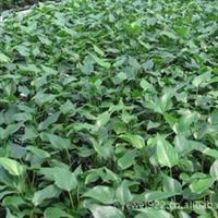 供应优质红掌种苗组培苗