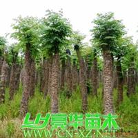 移栽栾树/黄山栾树/灯笼树/摇钱树