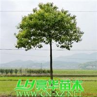 移栽大切杆香樟/樟树/小叶樟