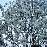 绿化苗木供应白玉兰红玉兰3公分4公分5公分10公分白玉兰价格
