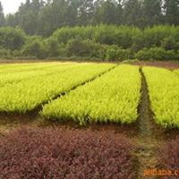 大量供应金叶女贞,红叶小壁,龙柏等各种绿化苗木