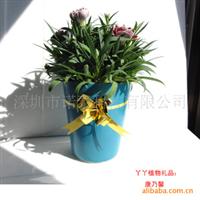 康乃馨植物礼品 有生命力的礼物