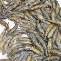 供应优质笋壳鱼苗 电话:13622200022