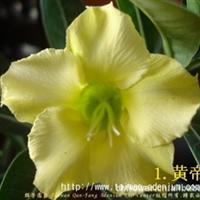 【台湾群芳沙漠玫瑰】沙漠玫瑰种苗- �S帝(5�济�),可�A�