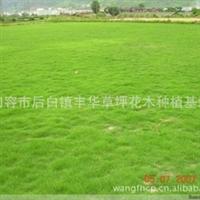 供应园林庭院绿化 马尼拉草坪