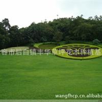 马尼拉草坪 庭院专用 广场绿化