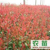 特价供应红叶石楠容器苗,地栽苗,高杆乔木,精球,毛球