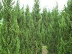 龙柏基地龙柏价格多少钱一棵南京龙柏树产地一棵多少钱
