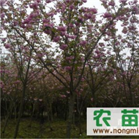 1-10cm的樱花 石楠 枇杷、红叶李、金桂、紫薇、红白玉兰