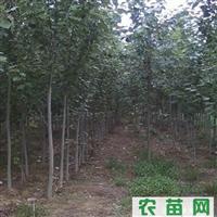 供应优质毛白杨、山东毛白杨、毛白杨种苗、毛白杨图片、