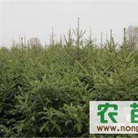 甘肃省临洮县长期出售青海云杉