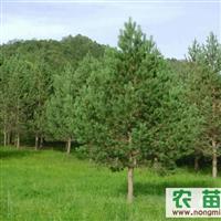樟子松 、油松树苗。