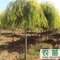 2000棵/3-6公分 金叶垂榆  金叶榆 金叶复叶槭