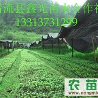 鑫光苗木专业合作社百万楠木苗上市交易
