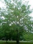 供应1-30规格的马褂木、栾树、白腊等绿化苗木
