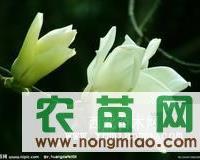 大量供应栾树、白腊、金叶榆、金叶槐、香花槐