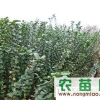速生紫薇2012年较新价格安徽宣城报价