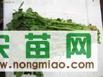 西洋菜种子 豆瓣菜种子