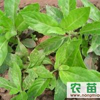 降糖草种苗 富贵菜种苗 长命菜