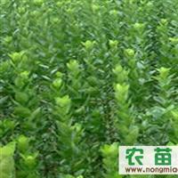 北海道黄杨供应北海道树苗黄杨树苗山东北海道黄杨树苗价格