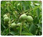 钙果苗、山杏树、白皮松、油松、侧柏、国槐、刺槐、