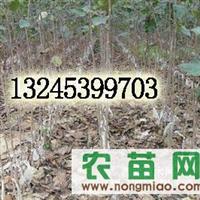 北美海棠芽苗13245399703