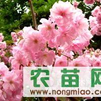 供应樱花苗|紫叶李白蜡|大叶女贞|泰安苗木|泰安苗木花卉基地