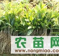 冠香园实实在在出售桂花苗