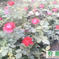 丰花月季、红帽月季等多个品种