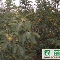 常年供应柿树苗、绿化柿树、柿子树苗、柿苗
