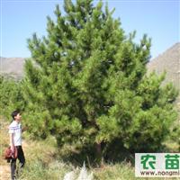 五角枫、榆树苗、油松、樟子松