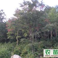 五角枫 油松 蒙古栎  樟子松 榆树小苗