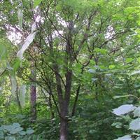 五角枫 蒙古栎 山槐 樟子松 油松