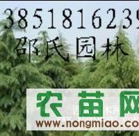2012年8公分杜仲价格  15公分杜仲价格 杜仲大树价格