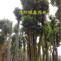 湖南香樟 香樟品种齐全,湖南益阳香樟基地