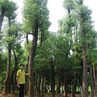 湖南香樟树价格,沅益香樟树种植基地 益阳绿鑫园林
