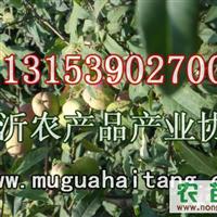 北美海棠树苗大量出售中